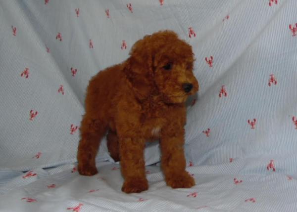 Poodle Puppies for sale Arndt's Happy Tails Poodles