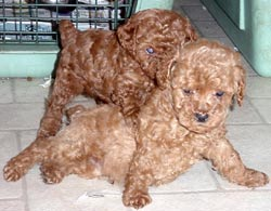 Arndts Happy Tails Poodle Puppies Harrisburg Pa