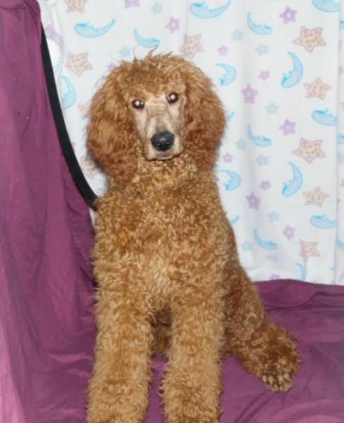 Poodle Puppies for sale Arndt's Happy Tails Poodles, Pennsylvania